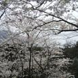 和布刈公園の桜